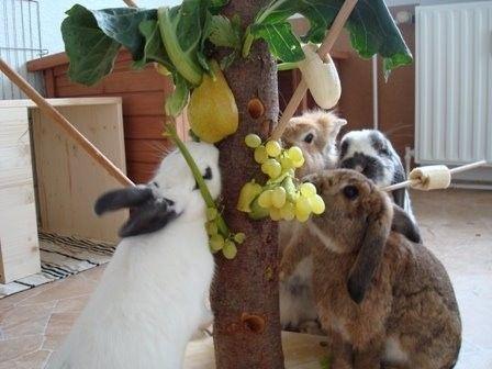 Hold dine kaniner beskæftiget ved at lade dem arbejde for maden.   Skru en stamme fast på et stykke træ og bor nogle lange pinde fast i stammen som grene. Her kan du hænge maden fast.  http://www.kaninhaandbogen.dk #kaniner #huskaniner