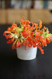 gloriosa lily - Google Search