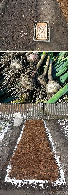 Вкусный Огород: Сроки посадки чеснока осенью. Советы огородников.