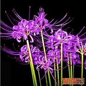 rare spider lily | Home & Garden > Yard, Garden & Outdoor Living > Plants, Seeds & Bulbs ...