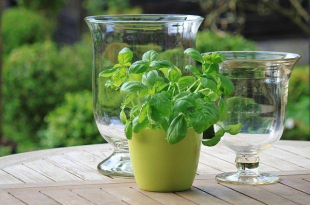 Bazalka: Kráľovská bylinka lieči i ukľudňuje