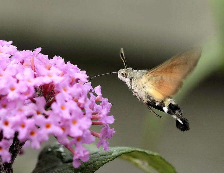 Kolibrie vlinder in de tuin.