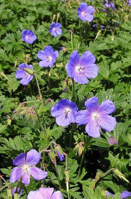 RHS Plant Selector Geranium himalayense 'Gravetye' / RHS Gardening