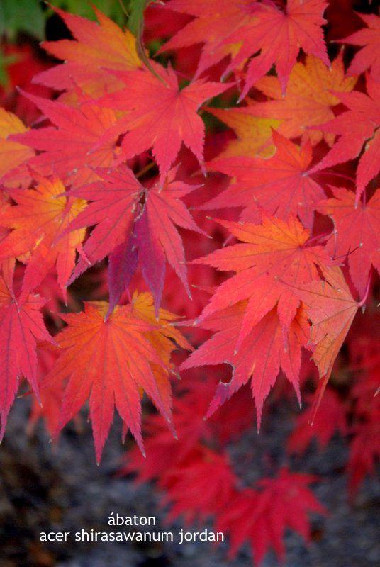 Arces japoneses o Japanese Maples (Acer palmatum) - Página 11 - Foro de…