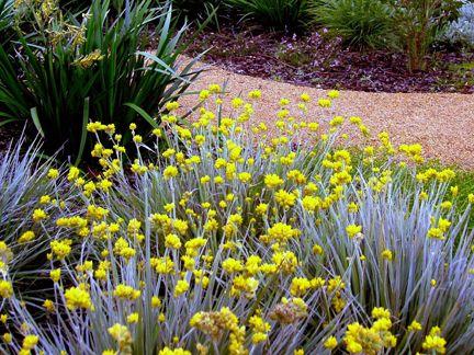 Conostylis candicas - Grey Cottonhead Native Australian groundcover #australiannative