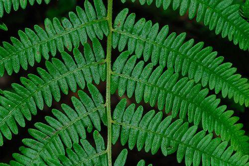 Pteridum aquilinium