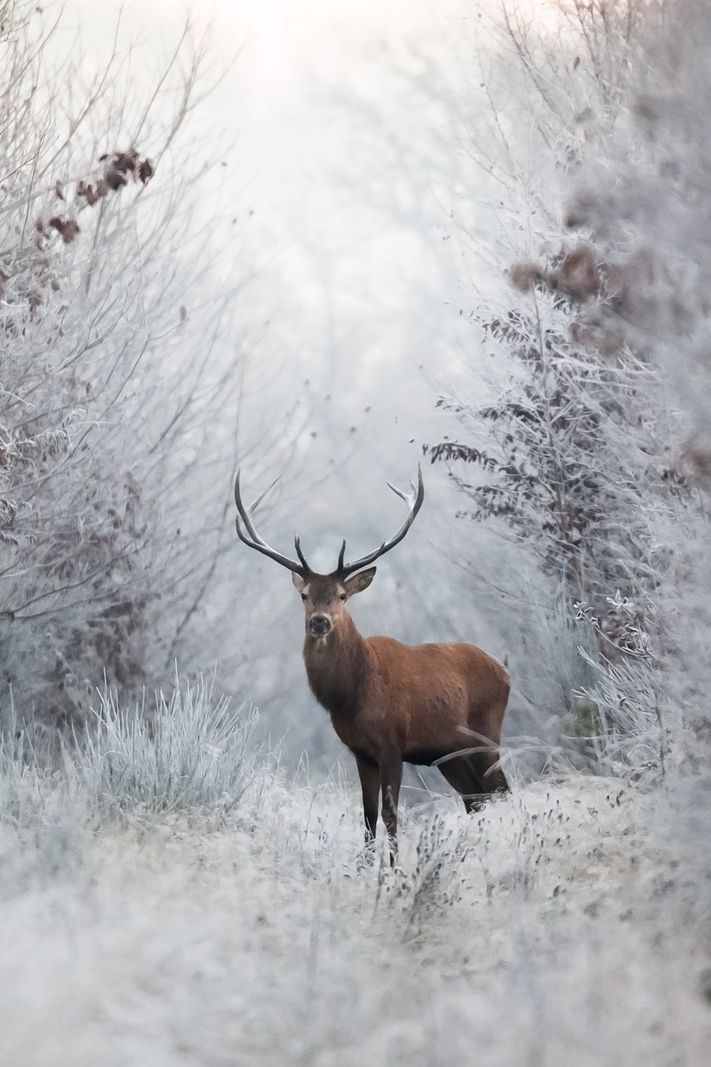 The Greenman, Cernunnos /Herne the Hunter... Deer in Winter... By Artist Nicolas Le Boulanger...
