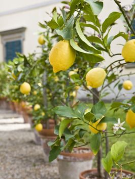 Lemon trees in an Italian courtyard - lemocello can't be far behind