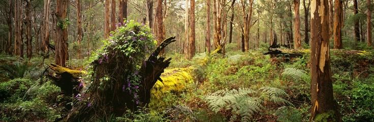 Wisteria - Boranup Forest