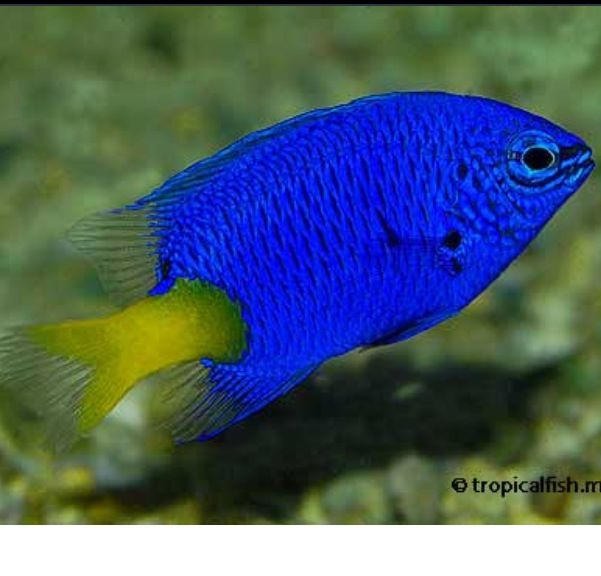 Saltwater fish damsel fish like this one when he was for Reef aquarium fish