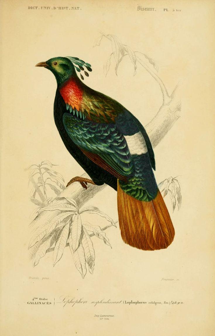 Gravures couleur d 39 oiseaux gravure oiseau 0257 - Dessin d oiseau ...