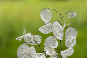 Silberblatt Samen