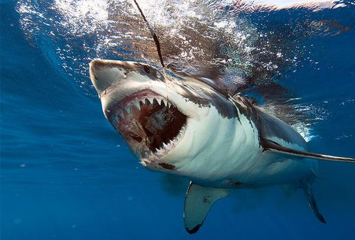 cute great white shark - photo #8