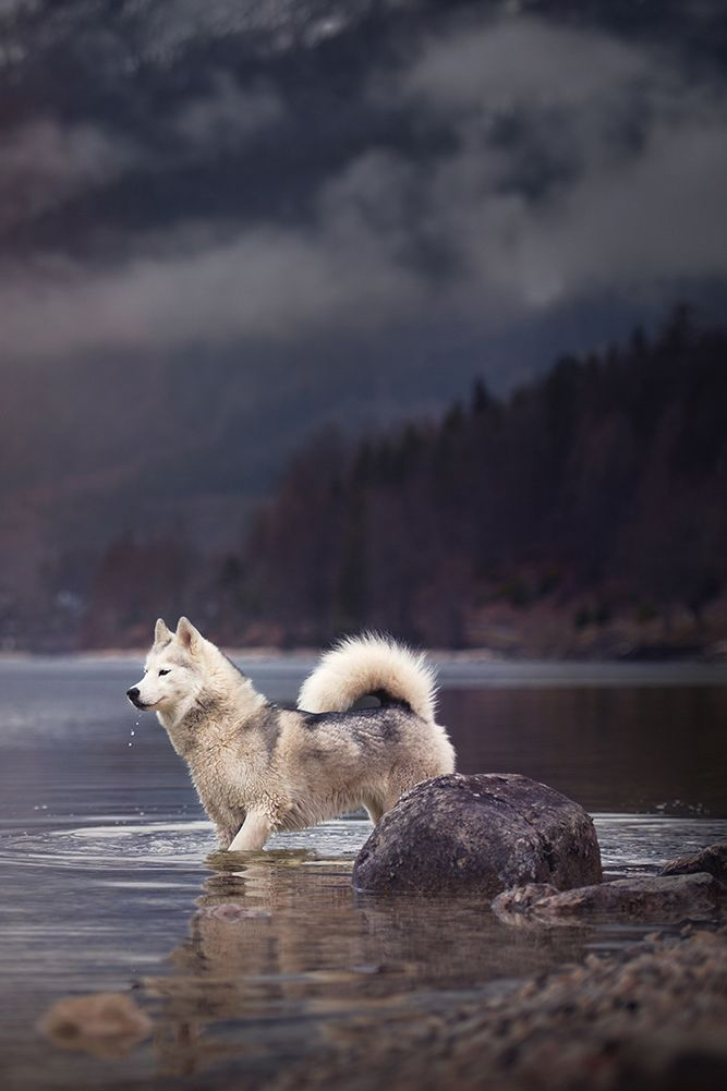 Handsome Husky Standing in a Stream.