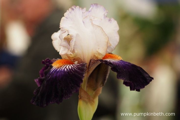Iris 'Terre à Silex' features white standards with purple picotee edges. The falls are of a very dark, almost black, purple, and a bright orange beard rests on a white area with dark purple striations.