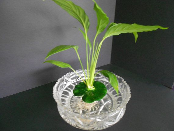Live peace lily in floating pad perfect to add live plants for Floating plants for betta fish