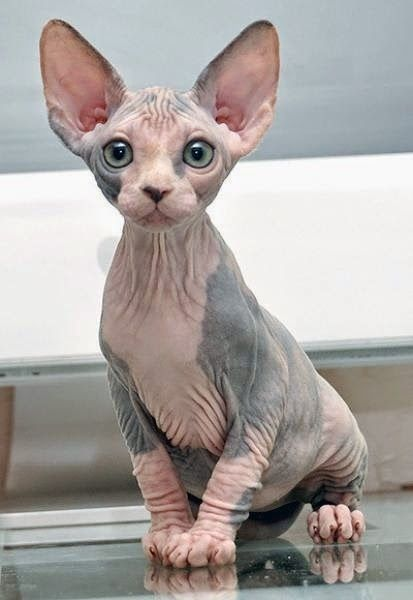 ** This is NOT a Lykoi breed. It's a Sphynx. Lykoi are bred to resemble werewolves. Check with any reputable cat breed website.