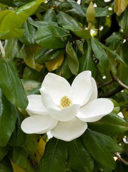 Magnolia : Photos: 50 State Flowers, Do You Know What Yours Is? : Condé Nast Traveler