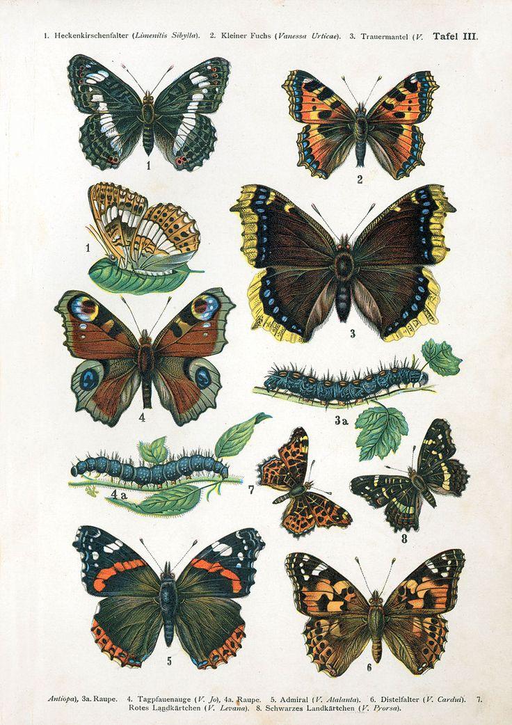 File:European-butterfly 052-III.jpg