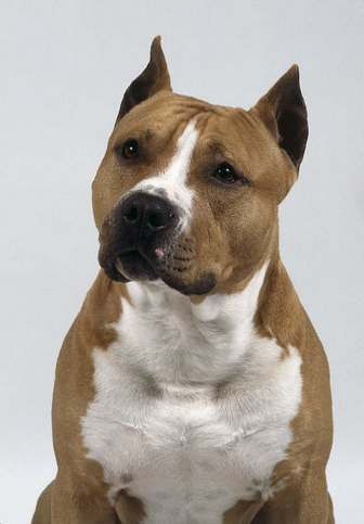 American Staffordshire Terrier Height	17.5 to 19 in (44 to 48 cm)
