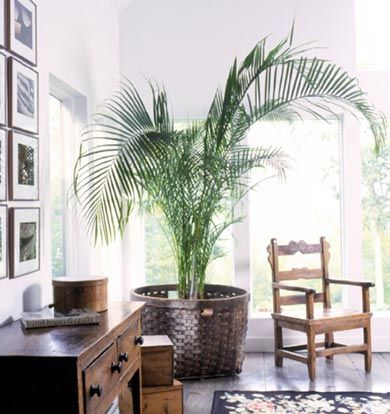 Bring a breath of fresh air into your home with beautiful palm tree. Artificial maintenance free palm trees are available on our website form £15.95 http://www.evergreendirect.co.uk/artificial_palms