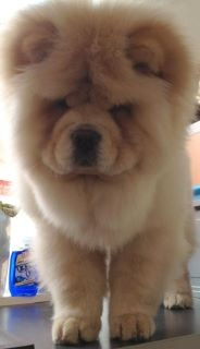27 best images about Baby chow chows on Pinterest | Chow chow ...
