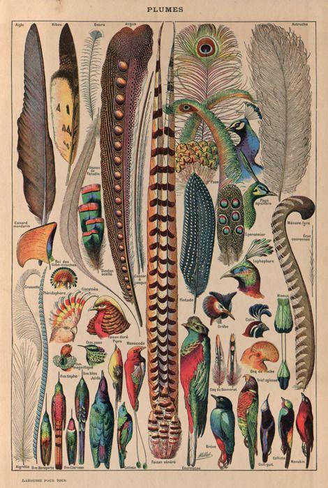 Plumes (feathers) - Illustré par Adolphe Millot dans Larousse pour tous [1907-1910]
