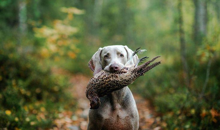 Веймаранер (фото): лучший друг настоящего охотника