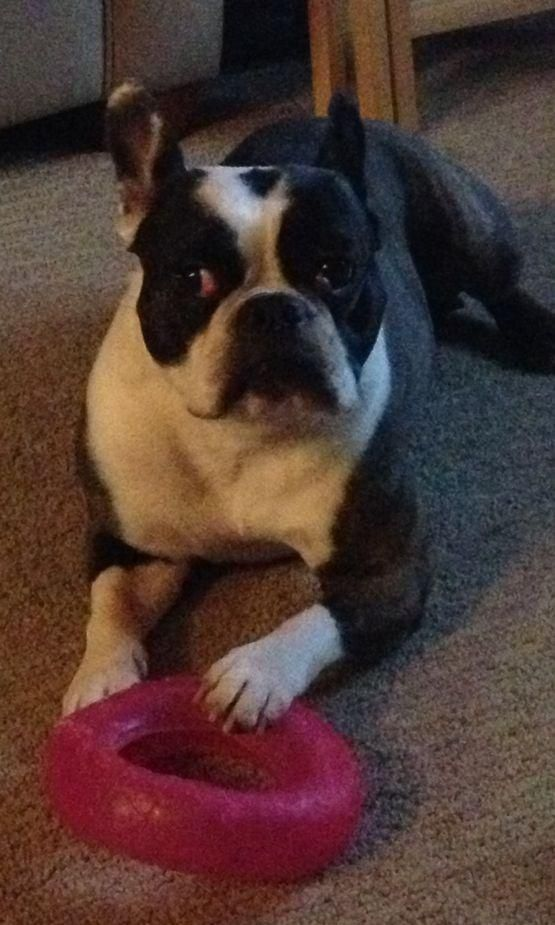 Meet Lizzy, a Petfinder adoptable Boston Terrier Dog | Englishtown, NJ | Lizzy is a Boston terrier, 8 years old, a spayed female.  We now think she is a pure Boston, just...