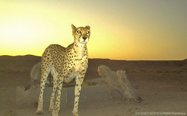 Remote camera captures picture of female Asiatic Cheetah with three cubs
