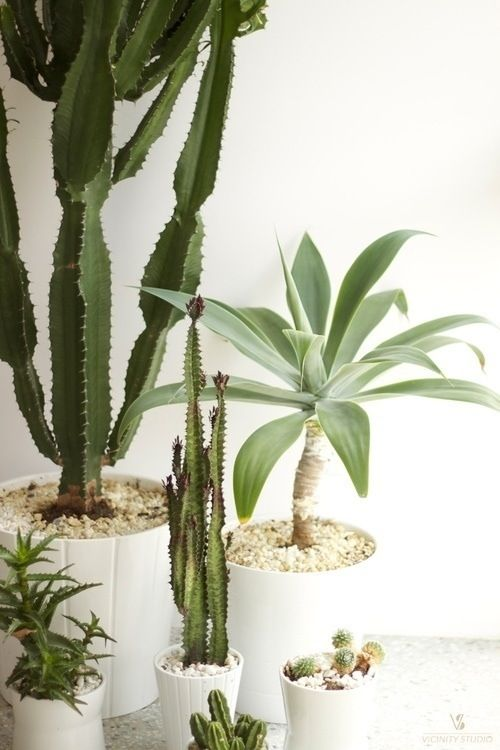 white pots w/ cacti.