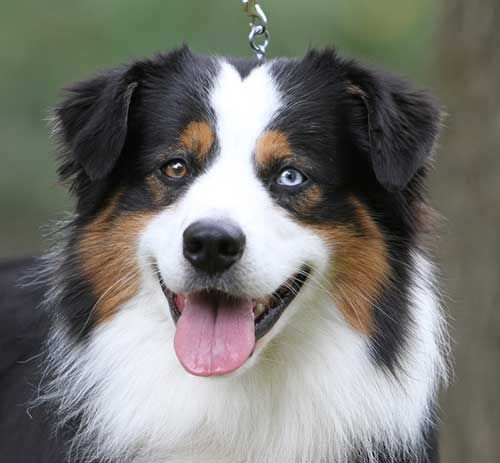 "Miniature Australian Shepherd Breeders Indiana- like these colors. DO NOT like the ""merle pattern"" that looks all mottled"