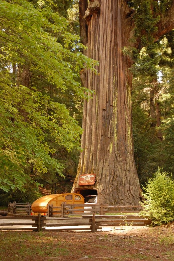 California Redwoods...been there on the motorcyle..now gotta take butterbean