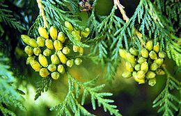 Thuja Occidentalis tree: The essential oil within the plant has been used for cleansers, disinfectants, hair preparations, insecticides, liniment, room sprays, and soft soaps. There are some reports that the Ojibwa made a soup from the inner bark of the soft twigs. Others have used the twigs to make teas to relieve constipation and headache.   In the 19th century, Thuja was in common use as an externally applied tincture or ointment for the treatment of warts, ringworm and thrush.