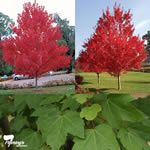 Acer rubrum 'PNI 0268' October Glory Maple Tree