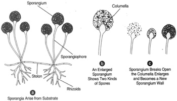 A sexual reproduction in Rhizopus nigricans.(a) Sporangia arise from the substrate. (b) An ...