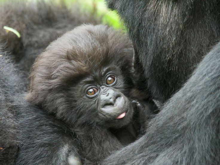 Baby Gorillas names  Sprinkle Dot  Gertie Fancy Chester Nutmeg Tiny Wisp Quito Flea Tim Blanket Biscuit Gladys's Ben Smokes Tux King James Lulu Molly