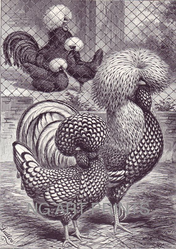 Polish Chickens, Antique Poultry Print by NGArtPrints, $12.00