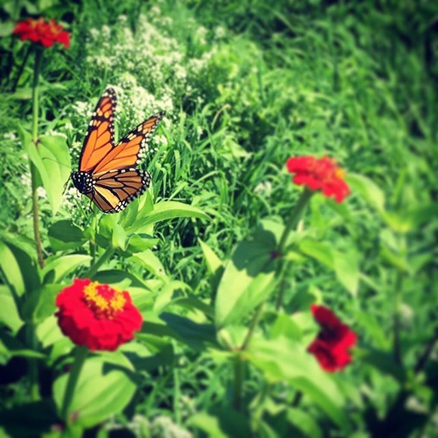 #butterfly #butterflygarden #nature #lovetheenvironment @audubonsociety