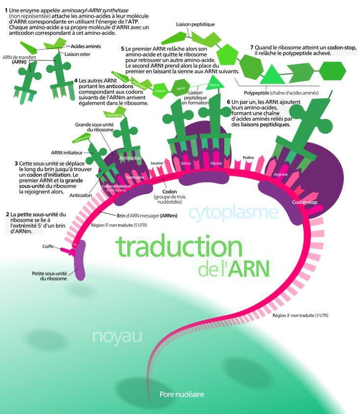 Protein synthesis-fr - Biosynthèse des protéines — Wikipédia