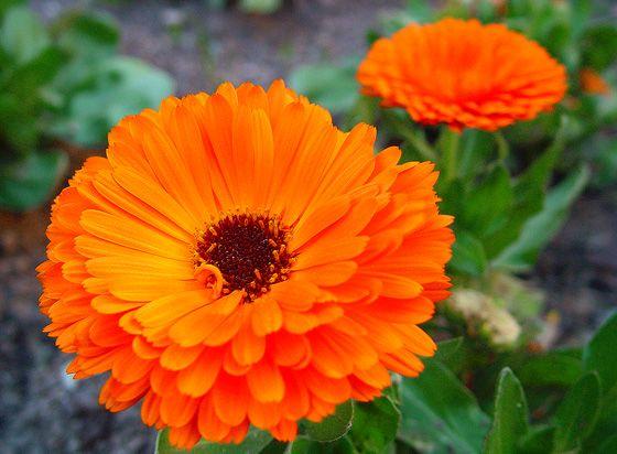 Calendula: un fiore in cucinahttp://www.foodconfidential.it/calendula-un-fiore-in-cucina/