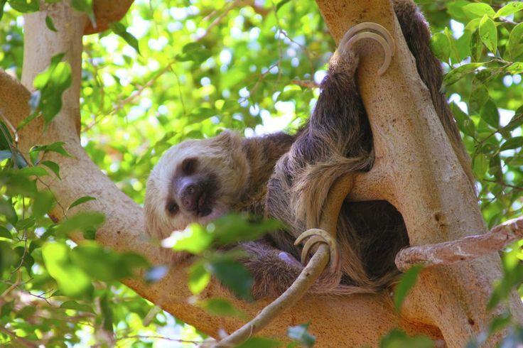 Sloth Sleeping Sleeping Sloth
