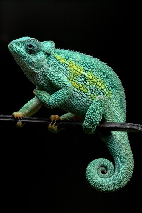 reptiles animal chameleon frog - photo #10