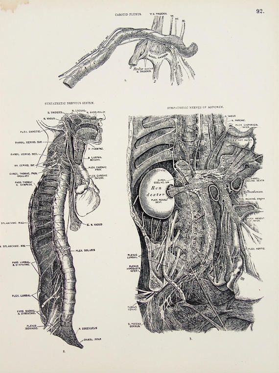 Nervous System Nerves of the Spinal Column and Abdomen 1880s