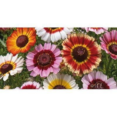 Ringkrage - Chrysanthemum carinatum