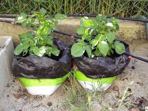 Cultivo de patatas en sacos