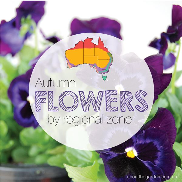 #Autumn #Flower Guide by regional zone Australian Gardening. List here http://bit.ly/18gTvl7 (scheduled via http://www.tailwindapp.com?utm_source=pinterest&utm_medium=twpin&utm_content=post1213329&utm_campaign=scheduler_attribution)