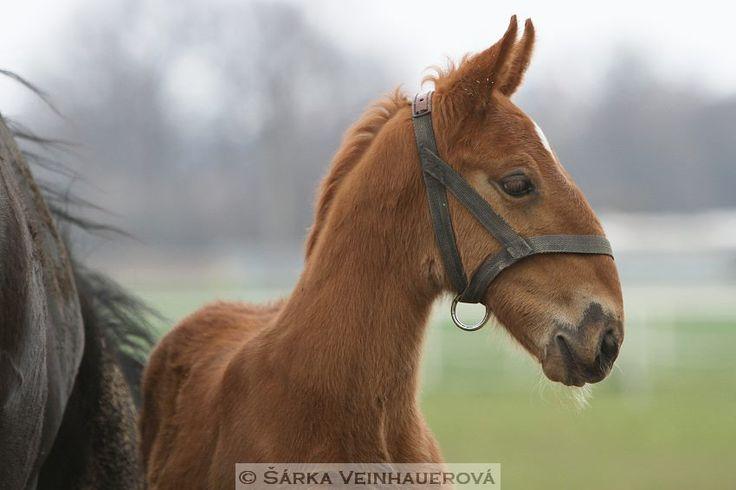 — Starokladrubská ryzečka - Kladruber Foal.