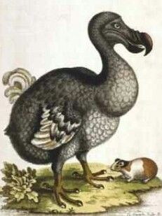 The Dodo Bird (Raphus cucullatus) is an extinct flightless bird that was  endemic to