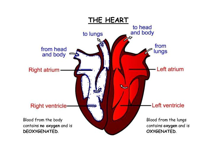 The 25+ best Human heart diagram ideas on Pinterest ...